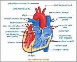 gross anatomy heart gallery learn human anatomy image