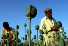 opium with western forces gone opium production booms in afghanistan