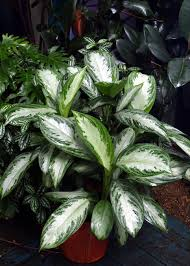 indoor plants low light houseplants evergreen and plants