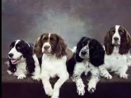 jwt heavenly springers english springer spaniel puppies for sale
