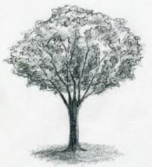 image gallery tree sketches