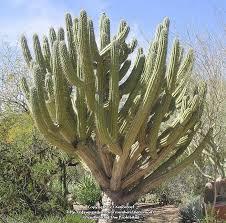 plantfiles pictures toothpick cactus argentine toothpick