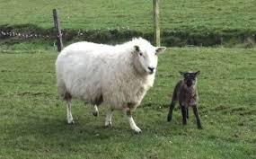 geep geep rare goat sheep hybrid born on irish farm modern farmer