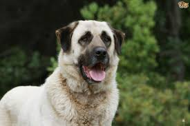belgian shepherd for sale south africa the amazing and unusual working role of the anatolian shepherd dog