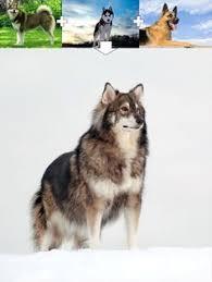 australian shepherd husky mix what do you get when a husky and an australian shepherd reproduce