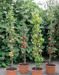Fruit Garden Ideas Cordon Fruit Trees How To Get The Best Harvest From A Small Garden