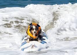 australian shepherd socal skyler so cal surf dogs