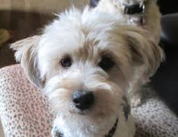 doodle for adoption indiana 889 best pets 4 adoption updates animal information images on