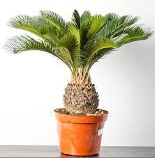 how to grow sago palm complete growing guide