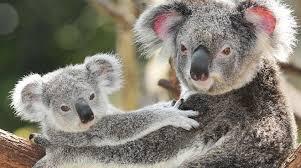 australia koala u0027s cry rainforest rescue