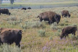 yellowstone national park one day lower loop sightseeing itinerary