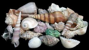 where to buy seashells hinterland trading sea shells mixed seashells w net bag 1lb