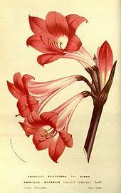 Amaryllis Flowers Amaryllis Wikipedia