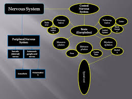 nervous system concept map concept map nervous system science philosophy literature