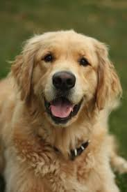 237 best golden paws images on pinterest golden retriever