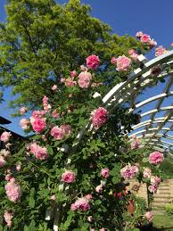 climbing rose arbour pink rose old fashioned scented rose