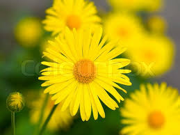 summer yellow flowers doronicum ornamental plant in the