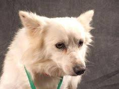american eskimo dog rescue colorado pictures of archie a bernese mountain dog mix for adoption in new