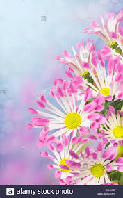 daisies flowers white petals with pink tips on purple background