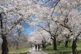 high park cherry blossoms peak bloom set for early may