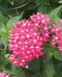 Pentas Flower Butterfly Deep Rose Pentas Lanceolata Proven Winners