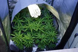 cfl lights for growing weed growing marijuana with energy saving ls alchimia blog