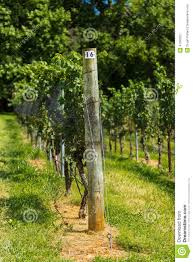 vineyard trellis and grape vine stock image image 47090321