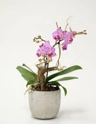 Orchid Plants Luxury Orchid Plants Orchidya London Flower Shop