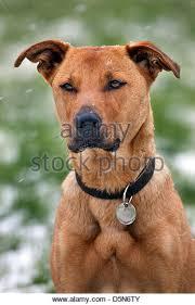 belgian shepherd x labrador shepherd labrador stock photos u0026 shepherd labrador stock images