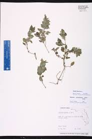 Florida Wetlands Map by Ruellia Blechum Species Page Isb Atlas Of Florida Plants