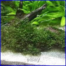 aquarium freshwater christmas moss live plants freshwater