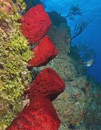 Azure Vase Sponge Facts Sponges Opening Minds Bugs 8rs Set1