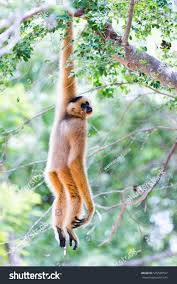 white gibbon cute monkey holding hanging stock photo 545528557