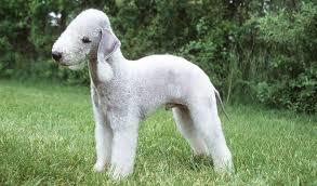 bedlington terrier stud bedlington terrier breed information