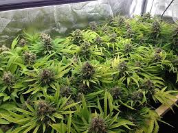 fluorescent light bulbs for growing weed cannabis grow light breakdown heat cost yields grow weed easy