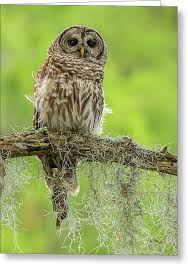 philippine eagle owl bubo philippensis juvenile owl on tree owl