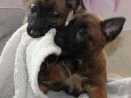 belgian shepherd for sale australia belgian shepherd dog dogs and puppies for sale in the uk pets4homes