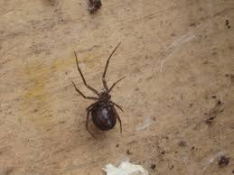 black widow or false black widow root simple