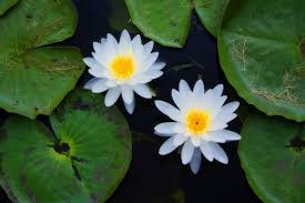 australian native water plants top 8 aquatic plants which floats on water allrefer