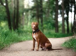 american pit bull terrier zucht american pitbull terrier im rasseportrait zooroyal magazin