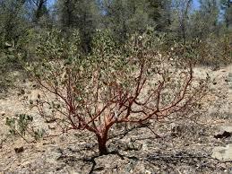 manzanita trees file manzanita jpg wikimedia commons
