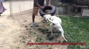 american pitbull terrier kennels in michigan american bulldog kills blue pit bull
