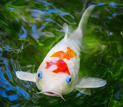 Types Of Fish For Garden Ponds - how to buy pond fish and keep them alive angie u0027s list