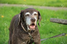 shorthair for 40 year olds senior german shorthaired pointer female almost 15 years old