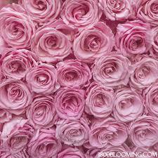 bulk roses bulk roses light pink 1 800 blooming