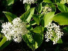 florida native plants swamp dogwood clean green natives