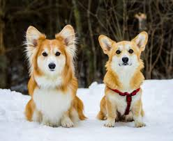 corgi fluffy corgi vs regular coat rebrn com