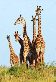 masai giraffe stock photos u0026 pictures royalty free masai giraffe