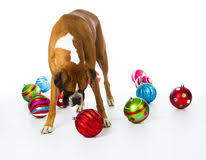 boxer with ornaments stock image image 27769077