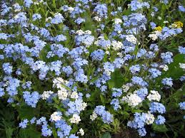 white and blue flowers closeup of blue and white forget me not flowers stock photo